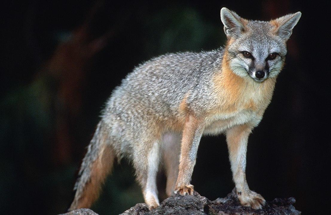 Foxy D